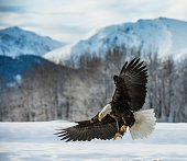 Bald Eagle ( Haliaeetus leucocephalus ) landed on snow . Chilkat RiverAlaska USA.