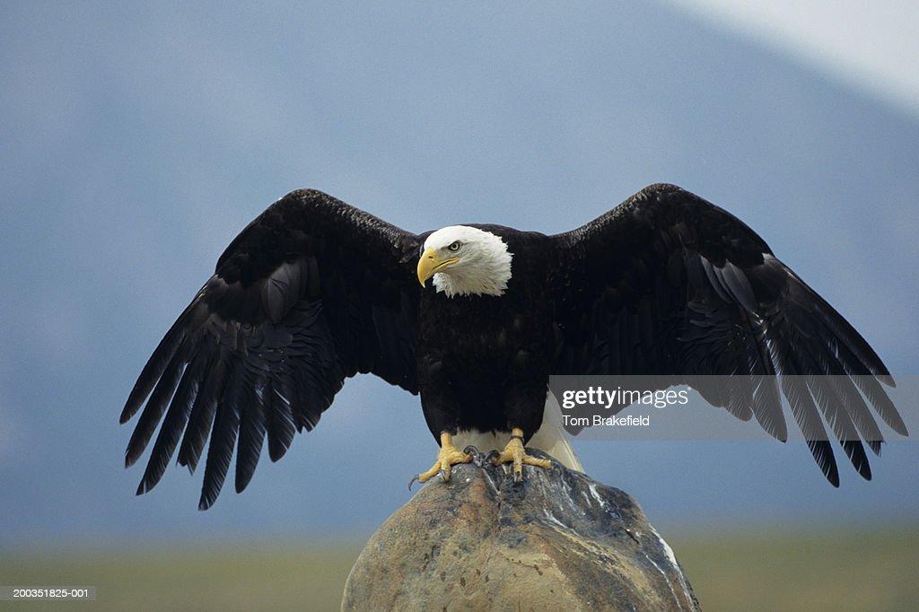 Bald eagle (Haliaeetus leucocephalus) landing, Colorado, USA