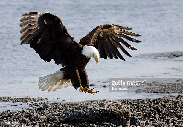 Bald Eagle - Landing on Beach