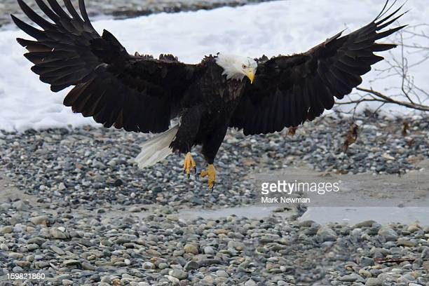 Bald eagle landing, wings outstretched