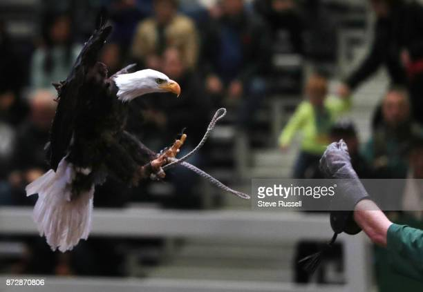 Bald Eagle lands during a birds of prey demonstration put on by the Canadian Raptor Conservancy at the Royal Agricultural Winter Fair at the CNE...