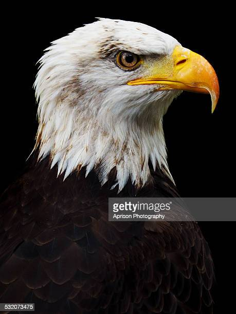 Bald Eagle looking at the right side