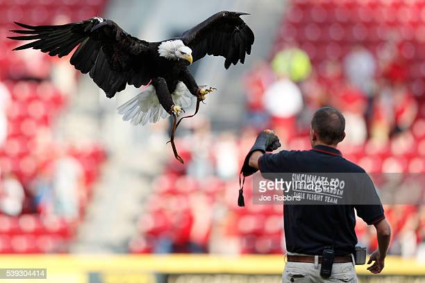 A bald eagle makes a landing prior to the game between the Cincinnati Reds and Oakland Athletics at Great American Ball Park on June 10 2016 in...