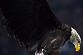 A Bald eagle mascot of the Lazio team flies over the stadium prior the Italian Serie A football match between Lazio Rome and Juventus on November 22...