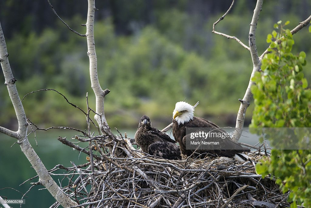 Bald eagle, nesting with eaglet