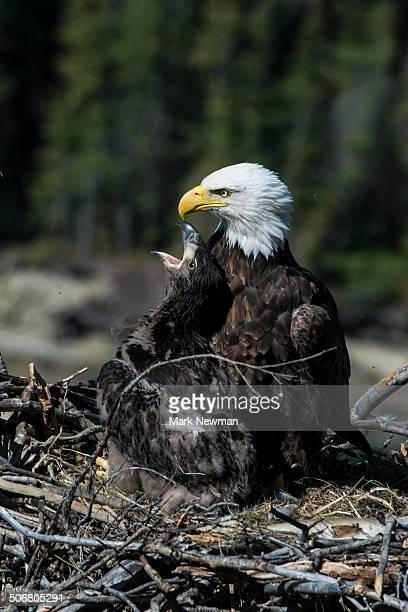 Bald Eagle, nesting with eaglet