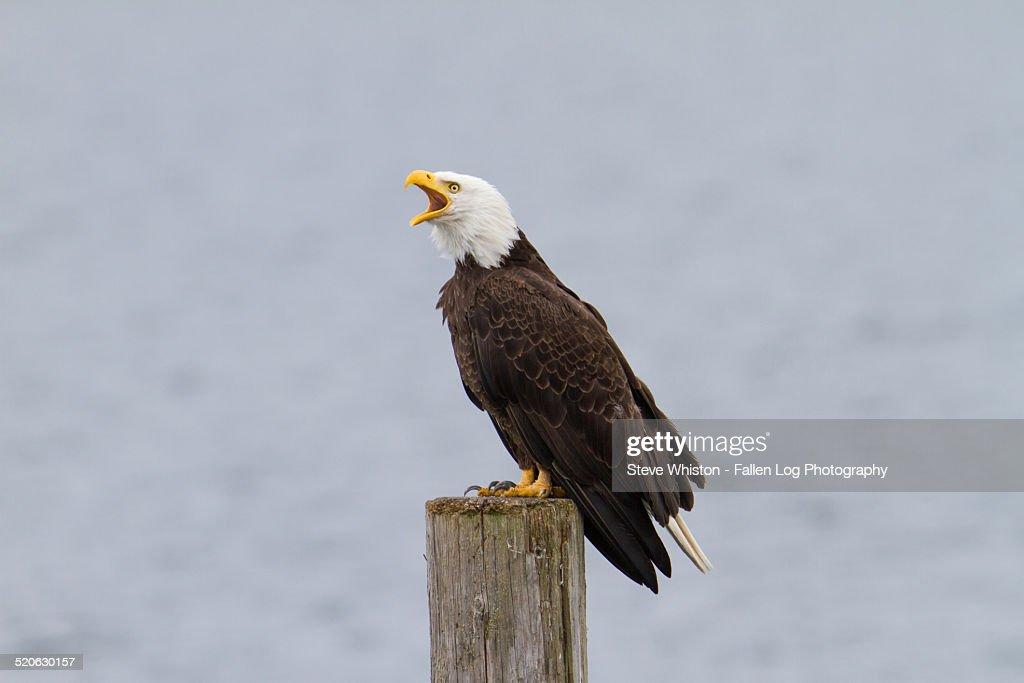 Bald Eagle on a Pier Screeching