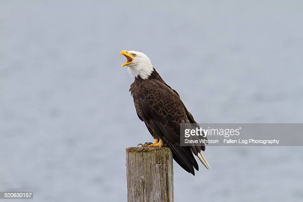 Bald Eagle on a Pier Screeching
