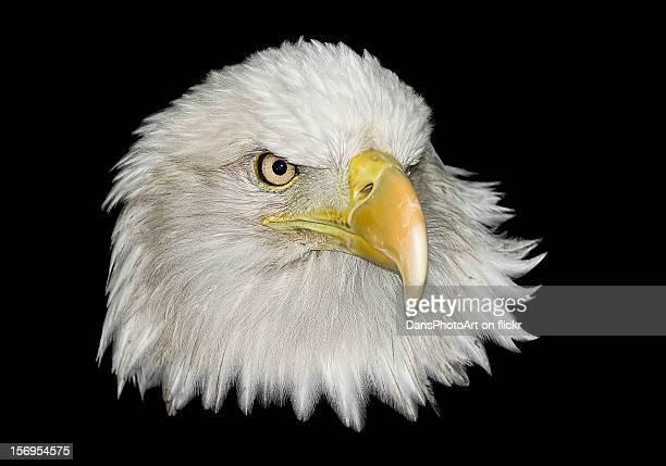 Bald Eagle On Black_RGB6257