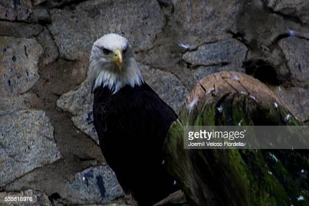 Bald Eagle or American Eagle