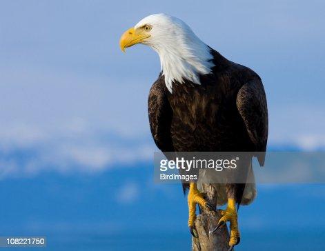 Bald Eagle Perched on Stump - Alaska : Stock Photo