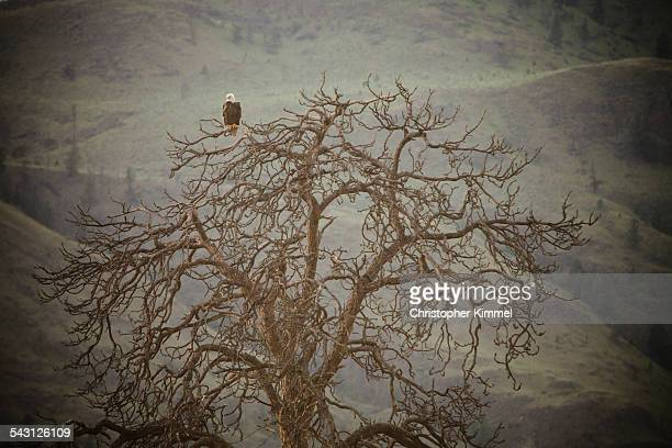 Bald Eagle perched on tree.