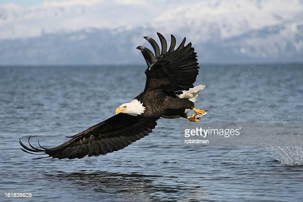Aquila di mare testabianca