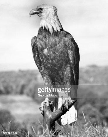 Bald Eagle : Stock Photo