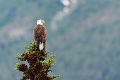 Bald Eagle perched on a tree top Jasper National Park Alberta Canada