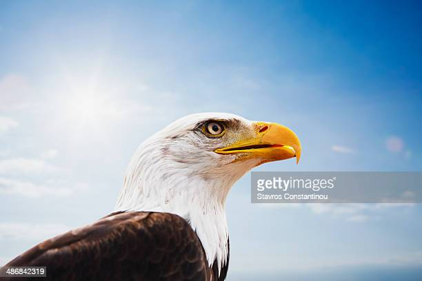 Bald Eagle portrait against blue sky
