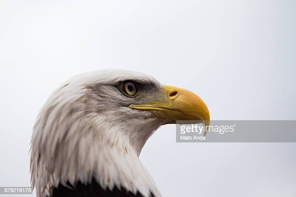 Bald eagle portrait from the side
