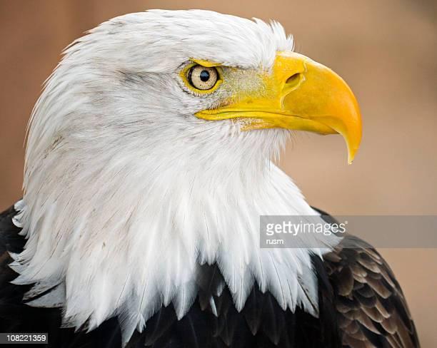 Weißkopfseeadler, Porträt