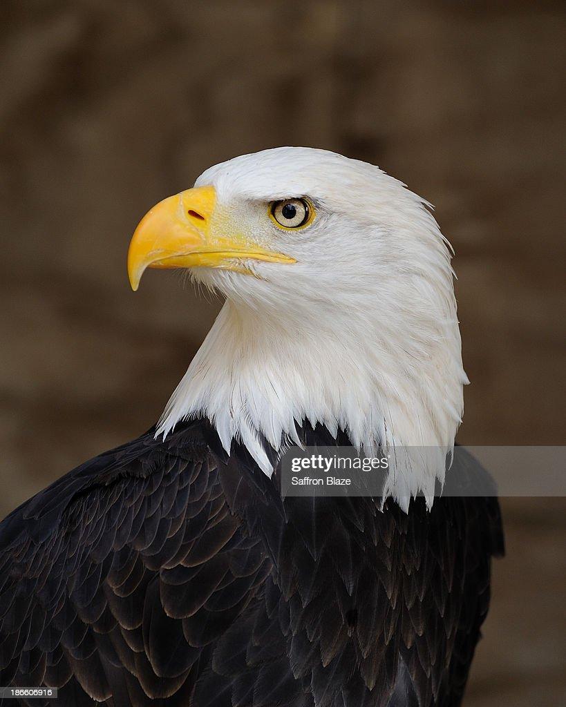 Bald Eagle Portrait : Stock Photo