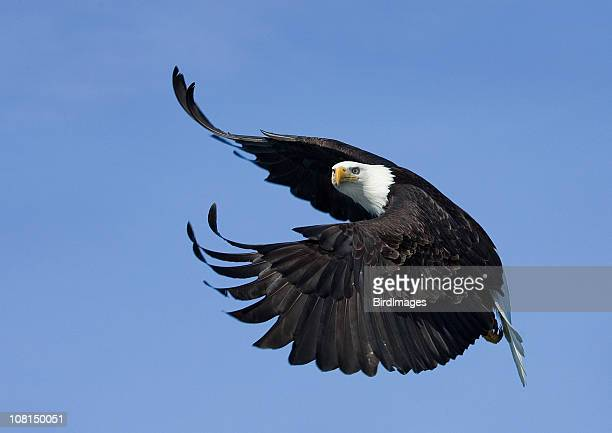 Bald Eagle Putting on Airbrake