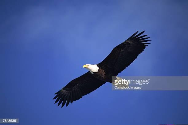 Bald eagle soaring , Alaska