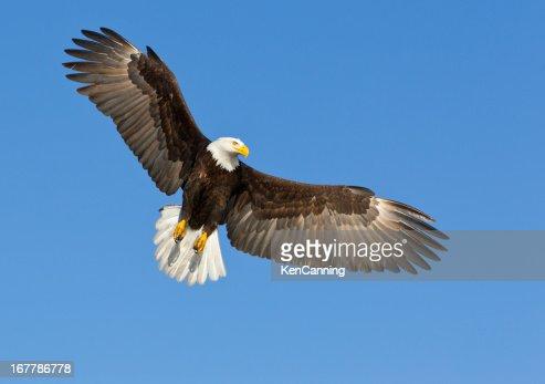 A bald eagle soaring in a blue sky