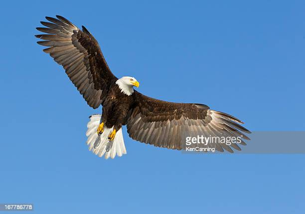 A bald eagle soaring in a blue sky