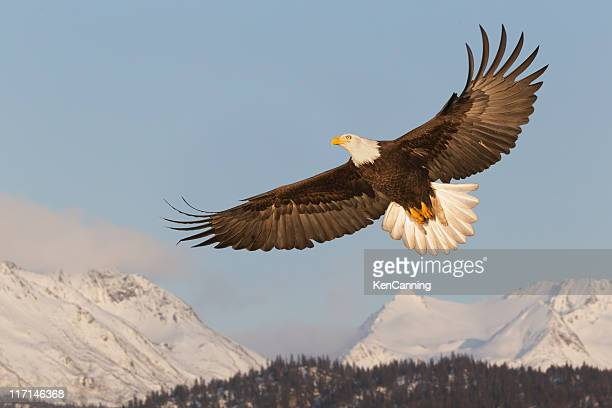 Bald Eagle Soaring Over Mountains