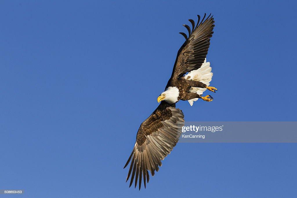 Bald Eagle Soaring : Stock Photo