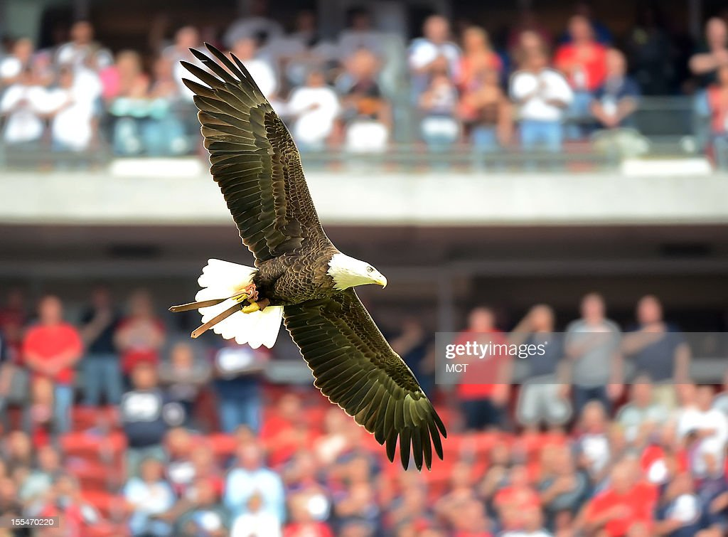 A bald eagle soars over the field as the Houston Texans honor military service before the Texans' 21-9 victory over the Buffalo Bills on Sunday, November 4, 2012, in Houston, Texas.