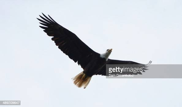 A bald eagle soars over the golf course during the third round of THE PLAYERS Championship on the stadium course at TPC Sawgrass on May 10 2014 in...