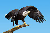 Bald eagle, Haliaeetus leucocephalus, taking flight over blue sky