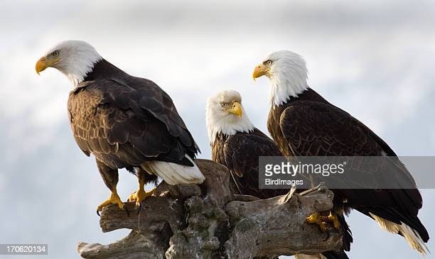 Bald Eagle - Three of a Kind, Alaska