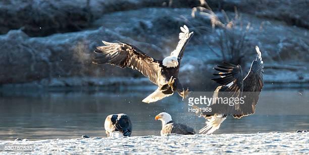 Bald Eagle vs. Bald Eagle
