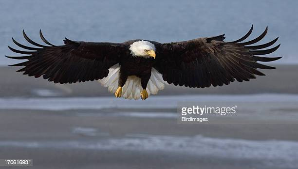 Bald Eagle Wing Span, Alaska