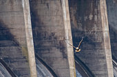 A Bald Eagle is dwarfed by the large concrete spillways of the Conowingo Dam on Susquehanna River in Maryland, as it is flying up to the trees to eat it's fish that is just caught.