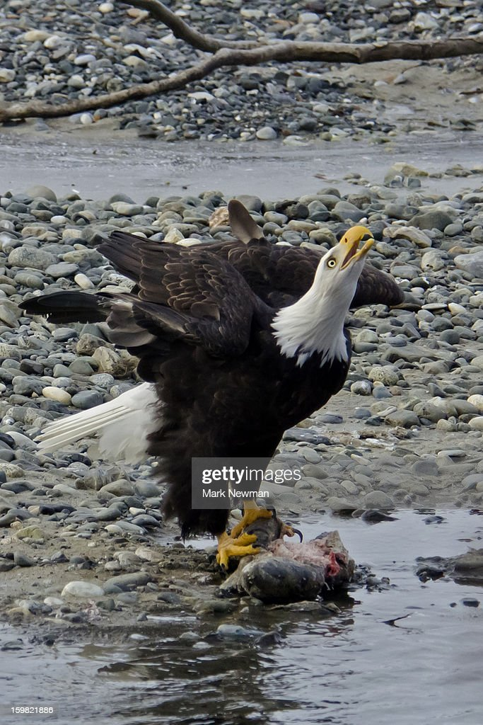 Bald eagle with head up, calling : Stock Photo