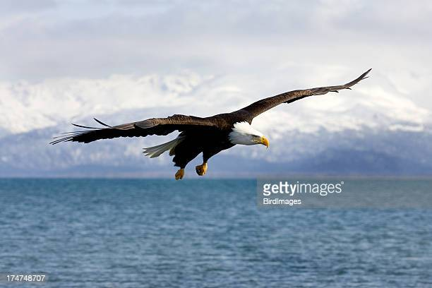 Bald Eagle with Mountain Background, Alaska