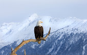 Alaska Bald Eagle on a Perch with Snow covered mountain background. Homer, Alaska.