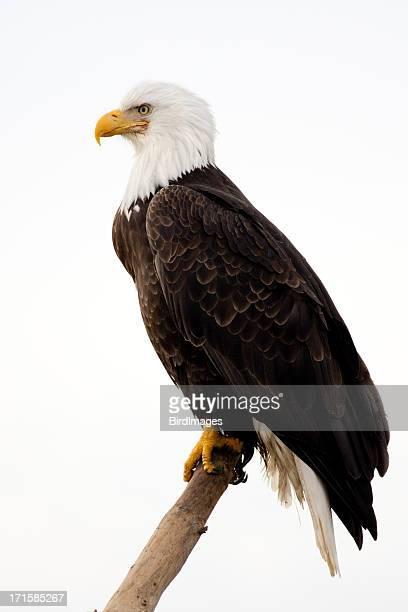 Bald Eagle-con sfondo bianco