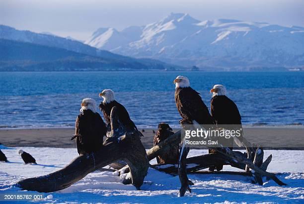 Bald eagles(Haliaeetus leucocephalus) on snow covered beach, winter