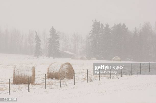 Bales of hay laying in snowy field in Alberta Canada
