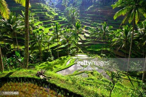 Bali, rice terraces of Tegallalang
