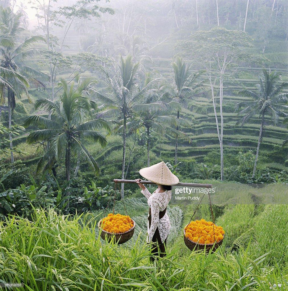 Bali, woman walking through rice terraces : Stock Photo