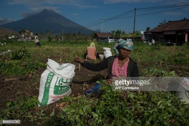 Balinese farmers harvest peanuts from their fields at Babakan village in Karangasem on Bali island on October 3 2017 Thousands of residents who fled...