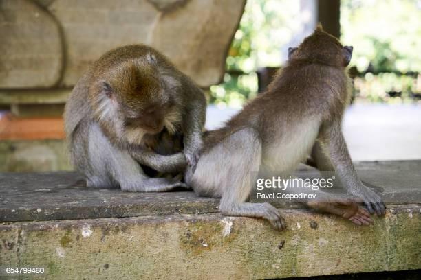 Balinese Long-Tailed Monkey Picking Lice From Another Monkey At The Ubud Monkey Forest, Ubud, Indonesia
