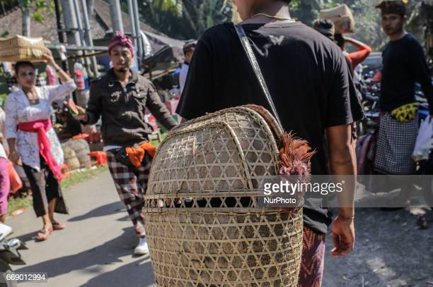 Balinese man carries his dead opponent rooster after the match during the sacred Aci Keburan ritual at Nyang Api Temple in Gianyar Bali Indonesia on...