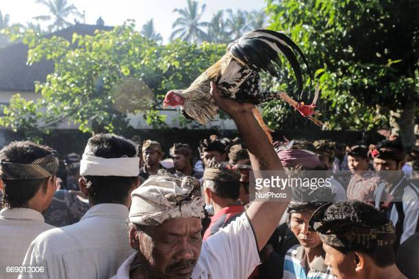 Balinese man dressed in traditional costumes carries his rooster during the sacred Aci Keburan ritual at Nyang Api Temple in Gianyar Bali Indonesia...