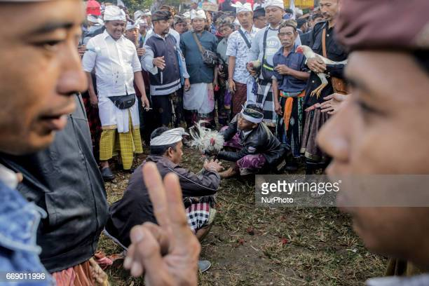 Balinese men dressed in traditional costumes bet as the roosters is ready to fight during the sacred Aci Keburan ritual at Nyang Api Temple in...