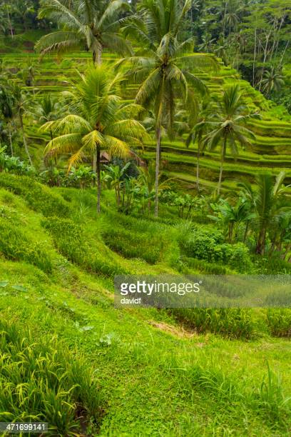 Balinese Rice Paddy Terraces